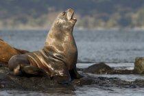 Leone marino della California che riposa sulla riva, Victoria, Columbia Britannica, Canada . — Foto stock