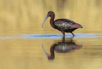 Ibis à face blanche, pataugeant dans le lac avec la réflexion sur l'eau — Photo de stock