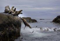 Leoni marini Steller che riposano sulla costa della Columbia Britannica, Canada — Foto stock