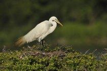 White great egret on green grassy lake shore. — Stock Photo
