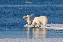 Polar bears standing on icy shore of Svalbard Archipelago, Norwegian Arctic — Stock Photo