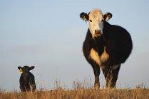 Kuh und Kalb auf der Weide in der Nähe von Cochrane, Alberta, Kanada. — Stockfoto