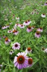 Close-up of medicinal echinacea flowers in garden — Stock Photo
