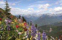 Wildflowers mountain slope of Idaho Peak, New Denver, British Columbia, Canada — Stock Photo