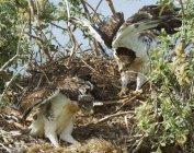 Eisenhaltiger Falke Nestlinge lernen Flug im nest — Stockfoto