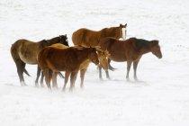 Коні на засніженому пасовищі в ріллі, Альберти, Канада. — стокове фото