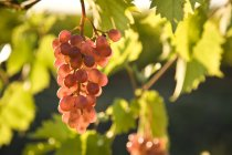 Close-up of Pinot Noir grapes growing in vineyard. — Stock Photo