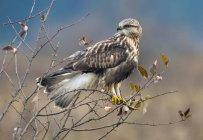 Grezzo – gambe Falco appollaiato sul cespuglio secco — Foto stock