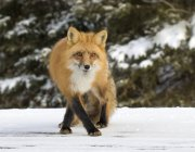 Adult red fox hunting in snowy forest. — Stock Photo