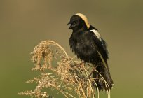 Mirlo macho charlatán encaramado en hierba alta, primer plano - foto de stock