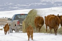 Red angus cows following bale of hay unwinding from lifter in pickup truck at ranch, Alberta, Canada. — Stock Photo