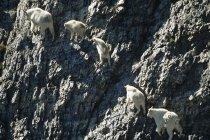 Aerial view of mountain goats climbing Rocky mountains, Alberta, Canada. — Stock Photo