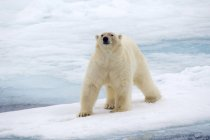 Polar bear walking on pack ice of Svalbard Archipelago, Norwegian Arctic — Stock Photo