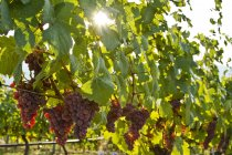 Ripe Gewurtztraminer grapes growing in vineyard with backlit — Stock Photo