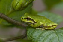 Close-up of green Pacific tree frog sitting on plant leaf. — Stock Photo