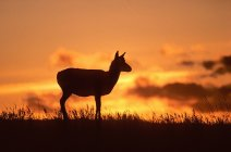 Female pronghorn silhouette on meadow of Alberta, Canada. — Stock Photo