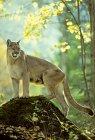 In piedi di donna cougar su roccia in foresta. — Foto stock