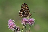 Nordwestlichen Fritillary Schmetterling sitzt auf Blüten, Nahaufnahme — Stockfoto