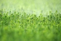 Spruce tree seedlings in nursery, close-up — Stock Photo