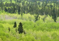 Green mixed forest of Bow Valley Provincial Park, Kananaskis Country, Alberta, Canada — Stock Photo
