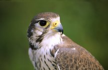 Portrait of female prairie falcon on green background — Stock Photo