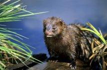 American mink foraging along river edge, Alberta, Canada — Stock Photo