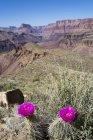 Cactus de pera espinosa en flor de Mojave que crecen en Tanner Trail del Gran Cañón, Arizona, EE.UU. - foto de stock