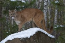 Cougar standing on snow-covered boulder in forest. — Stock Photo