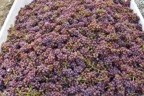Primo piano di uve mature Gewurtztraminer, telaio completo — Foto stock