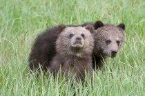 Неповнолітніх ведмедів Грізлі сидять в зеленій траві і дивлячись в камери — стокове фото