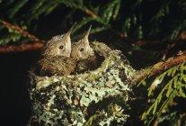 Close-up de Rufus filhotes de beija-flor no ninho na árvore. — Fotografia de Stock