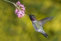Мужчины колибри Анна летать и кормления на цветок, макро. — стоковое фото