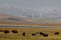 Molinos de Bison ranch y generación de energía cerca de Pincher Creek, Alberta, Canadá. - foto de stock