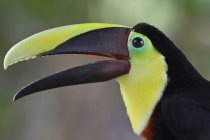 Chestnut-mandibled toucan bird outdoors in Costa Rica. — Stock Photo