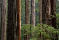 Coastal redwoods in Northern California, Prairie Creek Redwoods National Park, USA — Stock Photo