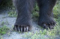 Close-up of grizzly bear paws showing claws. — Stock Photo