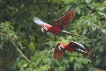Guacamayos rojo y verde en selva de Perú. - foto de stock