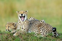 Two cheetahs lying and yawning on termite mound in Masai Mara Reserve, Kenya, East Africa — Stock Photo