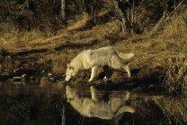 Wolf Trinkwasser aus Teich im Wald von Montana, Usa. — Stockfoto