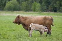 Calf nursing from cow on pasture near Riverton, Manitoba, Canada. — Stock Photo