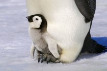 Nahaufnahme von Kaiserpinguin-Küken, das auf erwachsenen Füßen ruht, Schneehügel-Insel, Hochzeitsmeer, Antarktis — Stockfoto