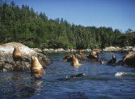 Sea Lions resting in Broken Islands, Barkley Sound, Vancouver Island, British Columbia, Canada. — Stock Photo