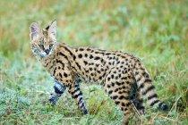 Serval kitten walking in meadow of Masai Mara Reserve, Kenya, East Africa — Stock Photo
