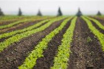 Culturas de rabanete orgânico em campo perto de Strathmore, Alberta, Canadá — Fotografia de Stock