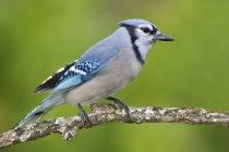 Blue jay bird perched on tree branch, close-up. — Stock Photo