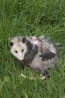 Opossum femmina con aggrappato joeys opossum in prato — Foto stock
