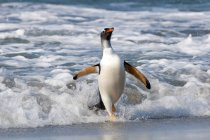 Pinguim-gentoo curta da água do mar em Ilhas Falkland, Atlântico Sul — Fotografia de Stock