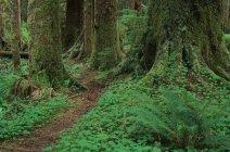 Green foliage of Carmanah Valley, Stoltman Grove, Vancouver Island, British Columbia, Canada. — Stock Photo