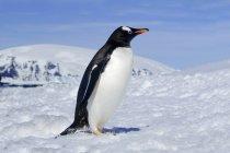 Gentoo penguin standing in snow field of Antarctic Peninsula, Antarctica — Stock Photo