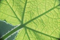 Крупный план ярко-зеленого листа с полосками в солнечном свете — стоковое фото